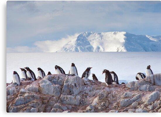 The Creche (Gentoo Penguins, Port Lockroy, Antarctica) by Krys Bailey