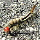 Unknown Caterpillar by sillyfrog