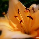 Peach Dream Lily by Mechelep