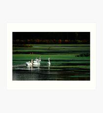 Mute swans Art Print