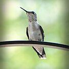 Ruby Throated Hummingbird by G. David Chafin