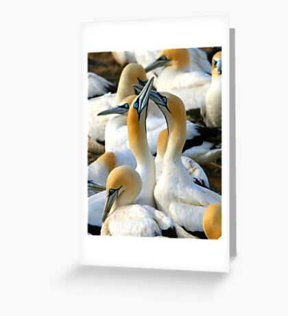 Cape Gannet Courtship Greeting Card