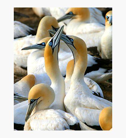 Cape Gannet Courtship Photographic Print