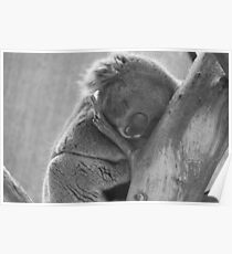 Black and white sleeping koala in tree Poster
