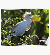 Snowy Egret in Mating Plummage Poster