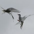Arctic terns fighting.  by michaelwallwork