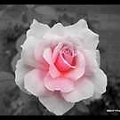 Pretty Pink Rose by Mechelep