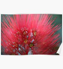 Red Banksia Close Up Poster