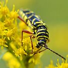 Locust Borer Beetle by William Brennan