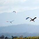 Big Bird - Jabiru in flight by Jenny Dean