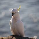 Cockatoo Dreaming by Mick Duck