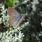 Saltbush Blue, Theclinesthes serpentata by Emma Sterling