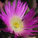 Native Pig Face (Carpobrotus Rossii) - Lowly Peninsula by Dan Monceaux