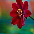Velvet Red by Ray Clarke