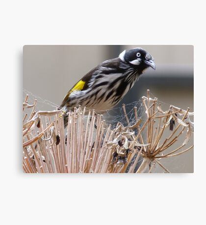 New Holland Honeyeater Canvas Print