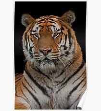 Amur Tiger Portrait Poster