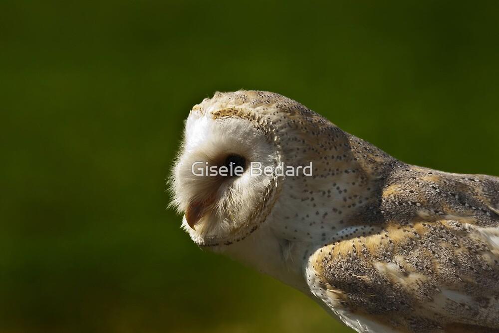 Common Barn Owl by Gisele Bedard