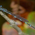 Wandering ringtail - Austrolestes leda by Andrew Trevor-Jones