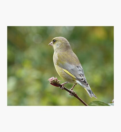 Green Finch  Photographic Print