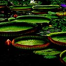Giant lily pads by Alina Holgate