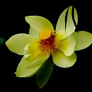 Lotus flower colour burn by Alina Holgate
