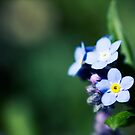 Springtime Forget-Me-Nots I by Josie Eldred