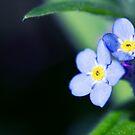Springtime Forget-Me-Nots II by Josie Eldred