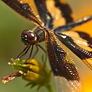 Dragonfly on a flower-2. by Mukesh Srivastava