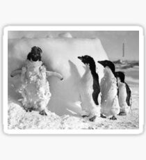 Ice cased Adelie penguins after a blizzard at Cape Denison Sticker