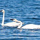 Pair of Trumpeter Swans by DigitallyStill