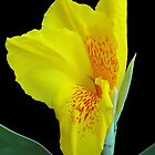 Wild Canna Lily Bloom by glennc70000