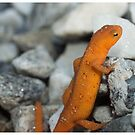 Newt on Rocks by LizardSpirit