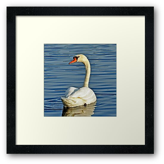 Swan by Rodney Campbell