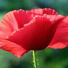 Poppy by Antionette