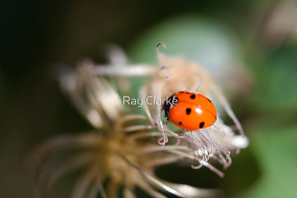 Ladybird by Ray Clarke