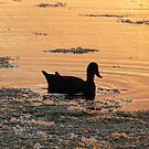 Duck a l'Orange by Donna Keevers Driver