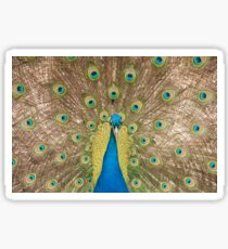 Displaying Peacock or peafowl Sticker