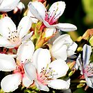 Apple Blossoms by Nicki Baker