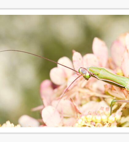 Praying Mantis on Hydrangea Sticker