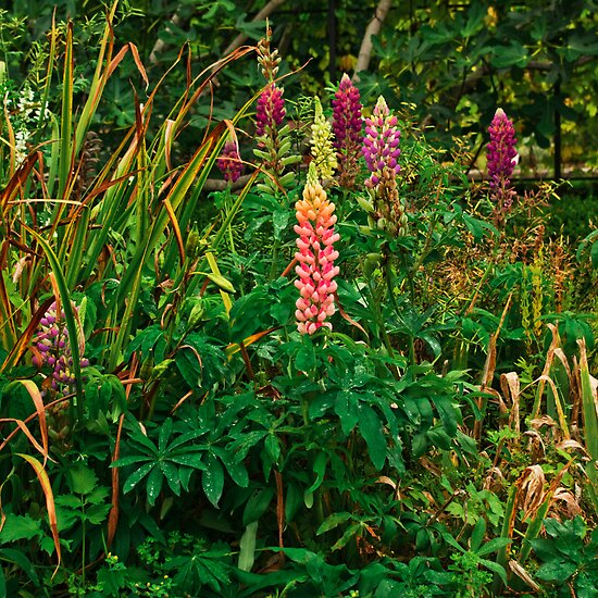 Lupins in the Pond Garden by moor2sea