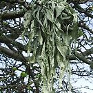 Welsh tree lichen by Caroline Maddison