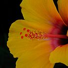 Yellow Hibiscus by Kelvin Hughes