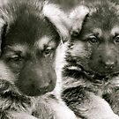 You And I (German Shepherd Puppies) by Lou Wilson