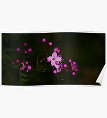 Purple Sydney Boronia Poster