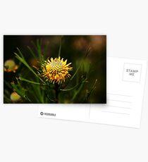 Isopogon anethifolius (Drumsticks) Postcards