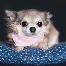 Chihuahua wearing pink bandana. by MayJ