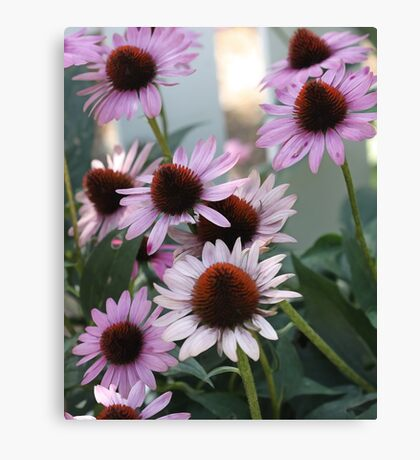 Coneflower - White Picket Fence Canvas Print