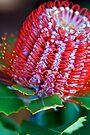 Banksia Coccinea by Extraordinary Light