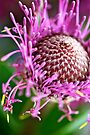 Pink Isopogon up close by Extraordinary Light