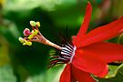 Red Passionflower by Extraordinary Light